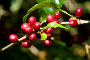 coffee-berry